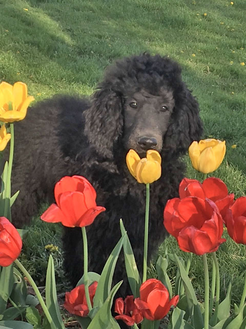 Standard, Poodle, breeder, puppy, for sale, male, female, Minnesota, Iowa, Wisconsin, shipping, parents, genetics, home-raised, family, kids, therapy dog, police dog, hunting dog, service dog, show dog, kennels, AKC, coat color, black, brown, cream, red, apricot, silver, healthy, reputable, clean, loved, retriever, geese, ducks, curly coat, groomed, award winning, pet, good temperament, toy, mixed, miniature, intelligent, border collie, work dog, hypoallergenic, sable phantom, blue, well socialized, puppies, parti, champion blood lines, show length tails, dew claws removed, adopt, pet, small, large, medium, no shed, hypoallergenic, groom, happy, baby friendly, trained, doggy door, potty, bathroom, dress up,