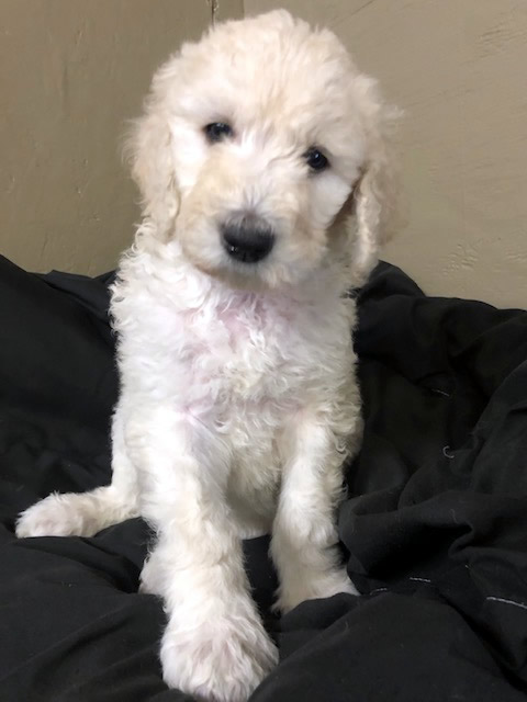 Standard Poodle Puppy Available